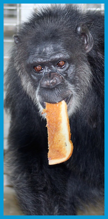 5 On the 5th day of chimpmas island 10 asked of thee Peanut butter & jelly