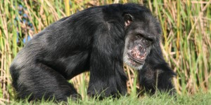 Gromek Adopt a chimp 600