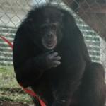 Holly chimpmas 2011