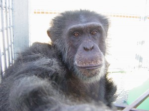 Each chimpanzee is remembered and honored with a tribute that is shared via our website, email, and social media. Photo by Save the Chimps