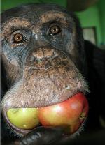 Nigida with apples