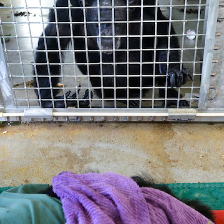 mourning chimp